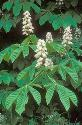 Achillea or Horse chestnut