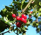 Ilex or Holly