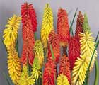 Kniphophia or Red Hot Poker