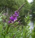 Lythrum or Loosestrife