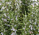 Rosmarinus Officinalis or Rosemary