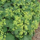 Alchemilla or Lady's mantle