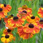 helenium_moerheim_beauty
