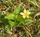 Lysimachia or Yellow pimpernel