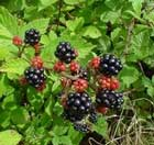 Rubus or Blackberry