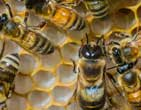 Alarm over deaths of bees from rapidly spreading viral disease