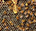 European ancestry plays role in 'killer' honey bees' aggressiveness
