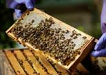 British apiarists knew it all along: honey is the bee's knees