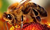 Glyphosate impairs honeybee sensory and cognitive abilities