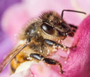 MEPs block member states' move to weaken bee protection from pesticides