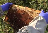 Welsh bees threatened by deadly disease American Foulbrood