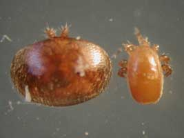 Comparison of Varroa to tropilaelaps