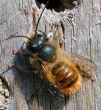 Red mason bee, Osmia rufa