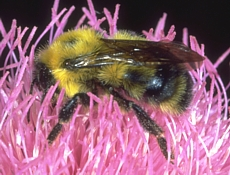 bumble bee - bombus terrestris
