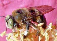 Large carpenter bee - Xylocopini virginica