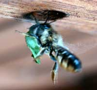 Leaf-cutter bee entering its nest with part of a leaf