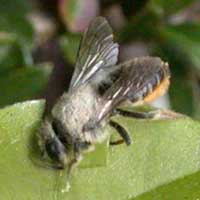 Leaf-cutter bee Megachile sp.