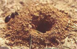 Miner bee's burrow